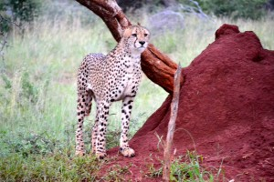 This cheetah is checking out the scene