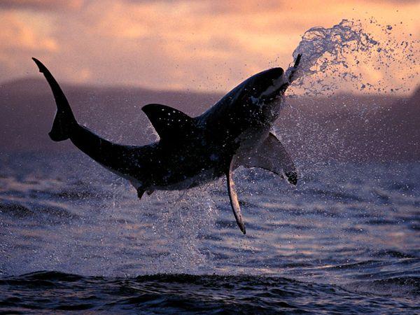 Great White Shark Breaching (via National Geographic)
