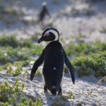 Jackass Penguin at Boulders Beach